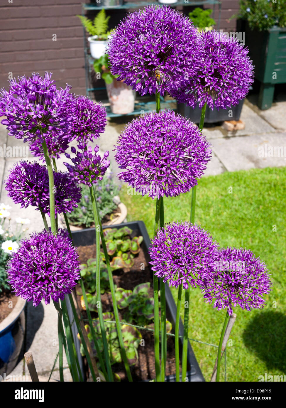 Allium Pflanzen Wann Allium Pflanze Stockfotos Allium Pflanze Bilder Alamy