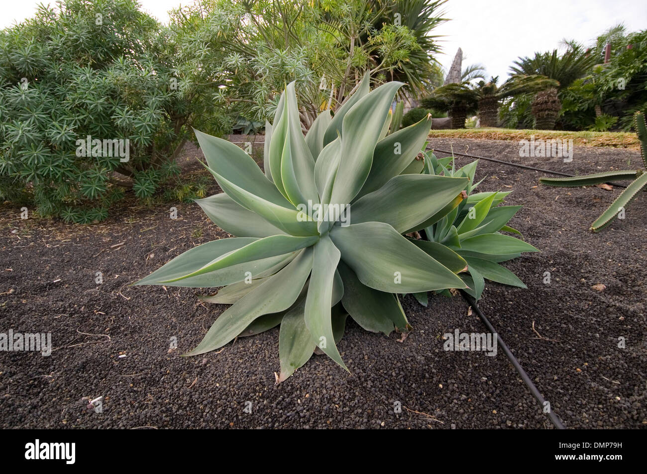 Aloe Vera Pflanze Pflegen Succulents Stockfotos And Succulents Bilder Alamy