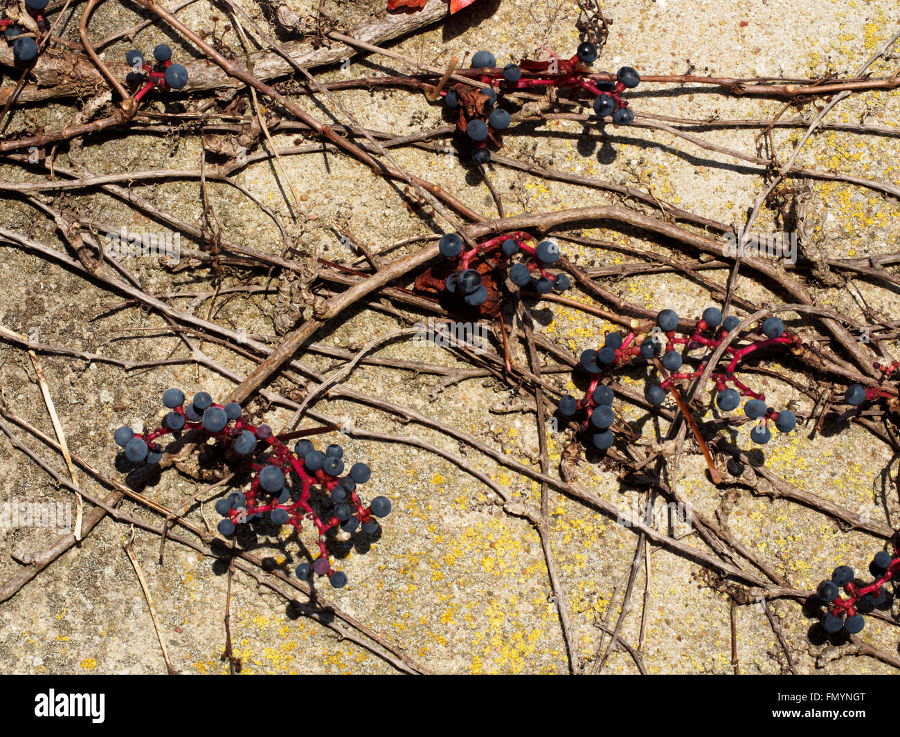 Außenwand Dekoration Metall Grape Vine Wall Stockfotos And Grape Vine Wall Bilder Alamy