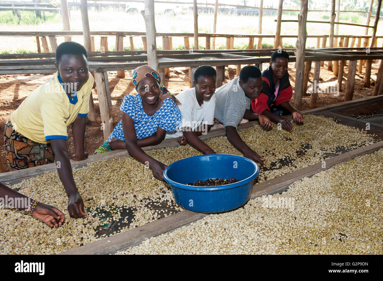 Arabica-kaffee Aus Thailand Ernte Workers Sorting Coffee Beans Stockfotos And Workers Sorting