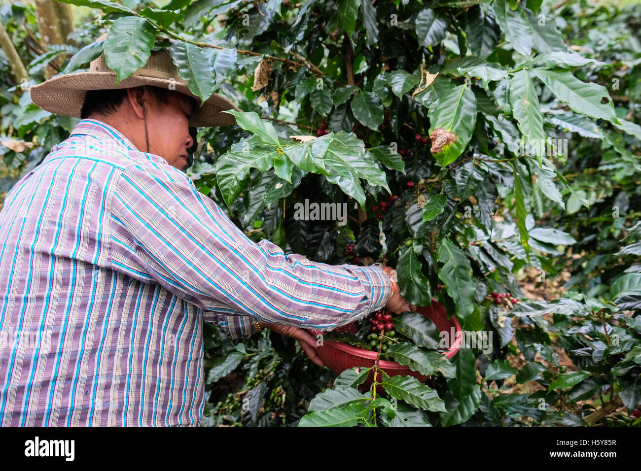 Arabica-kaffee Aus Thailand Ernte Cafe Bauer Stockfotos And Cafe Bauer Bilder Alamy