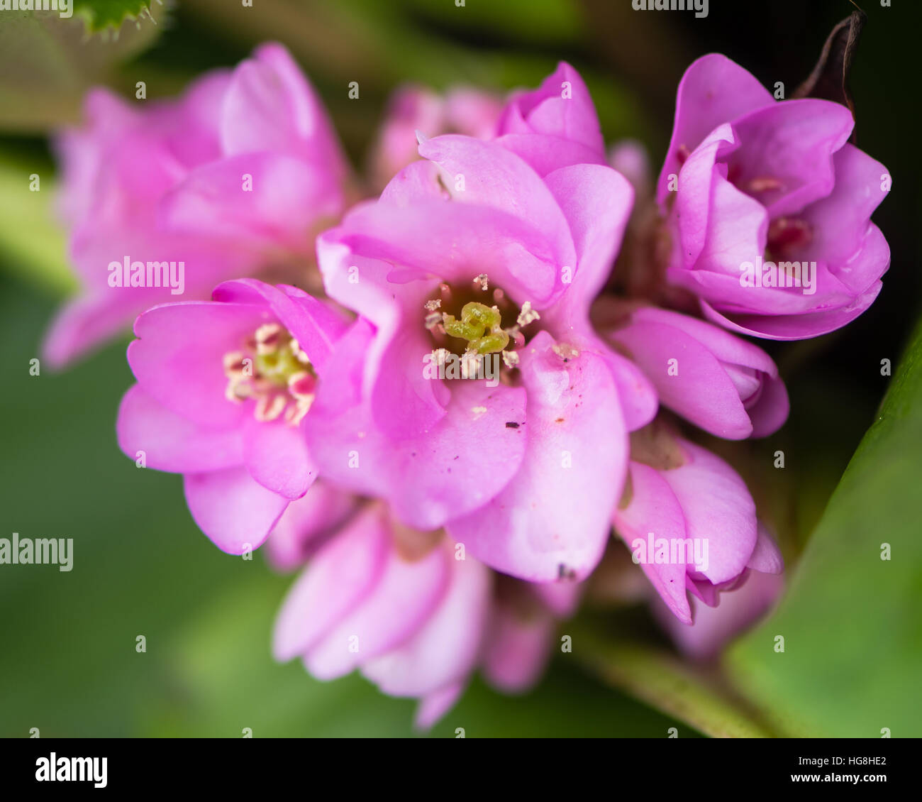 Bergenie Giftig Bell Shaped Pink Flowers Stockfotos Bell Shaped Pink Flowers