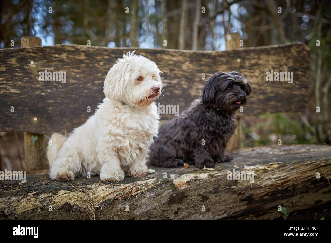 Holzbank Schwarz Portrait Of A Poodle Stockfotos And Portrait Of A Poodle