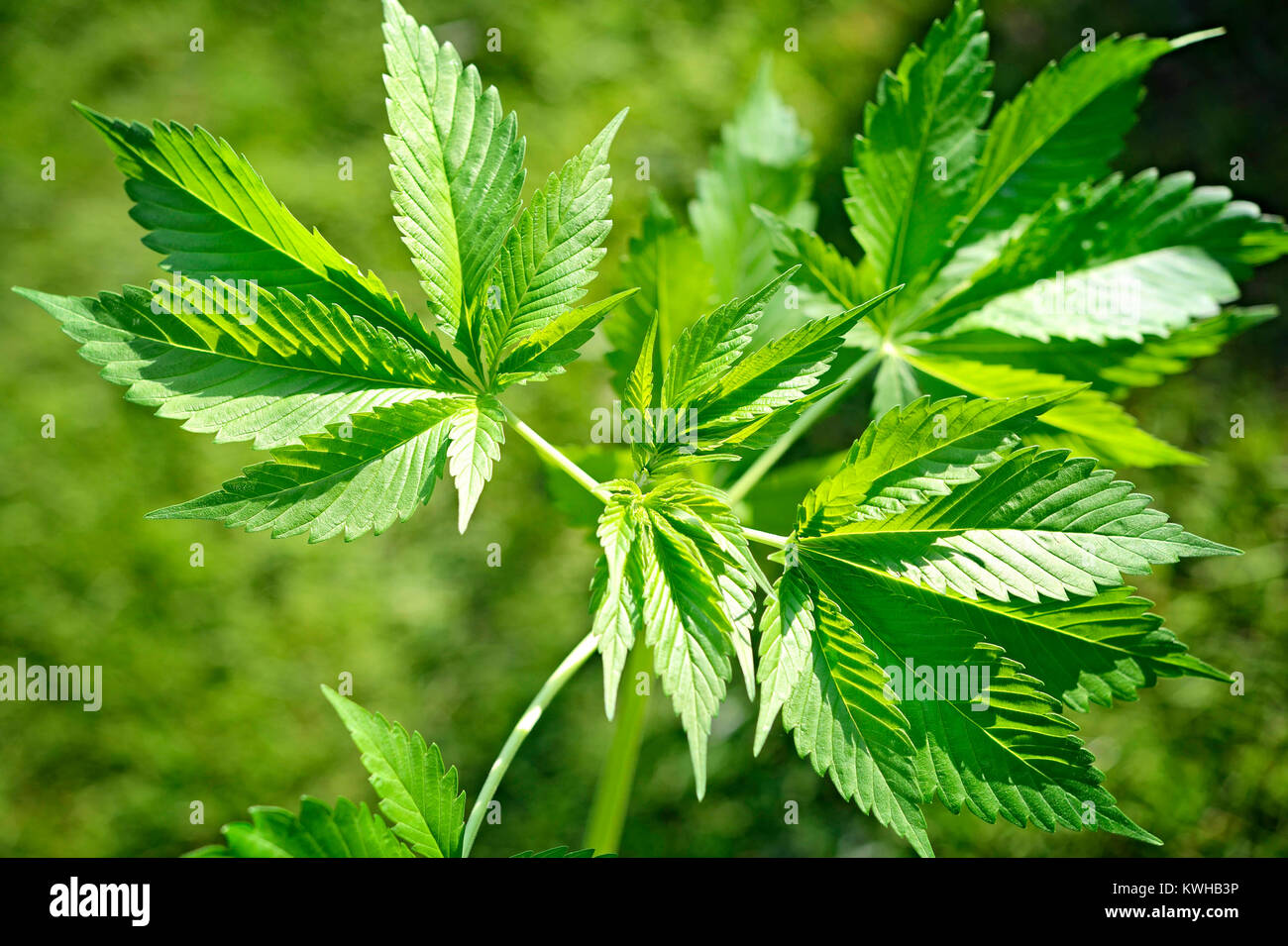 Weed Bettwäsche Hemp Sheets Stockfotos Hemp Sheets Bilder Alamy