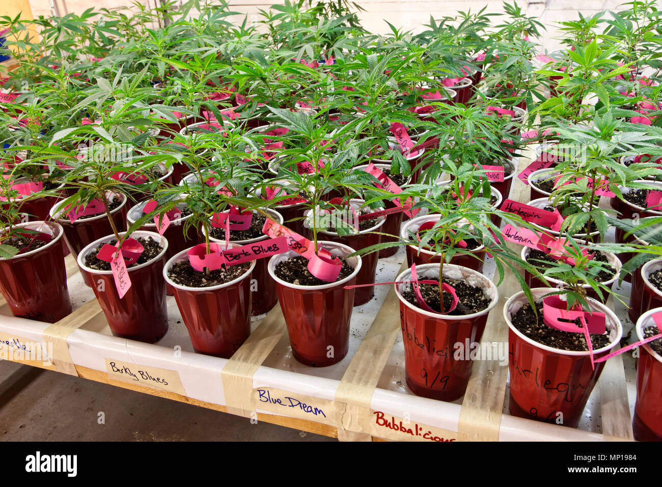 Hanf Beleuchtung Cannabis Sativa Stockfotos And Cannabis Sativa Bilder Alamy