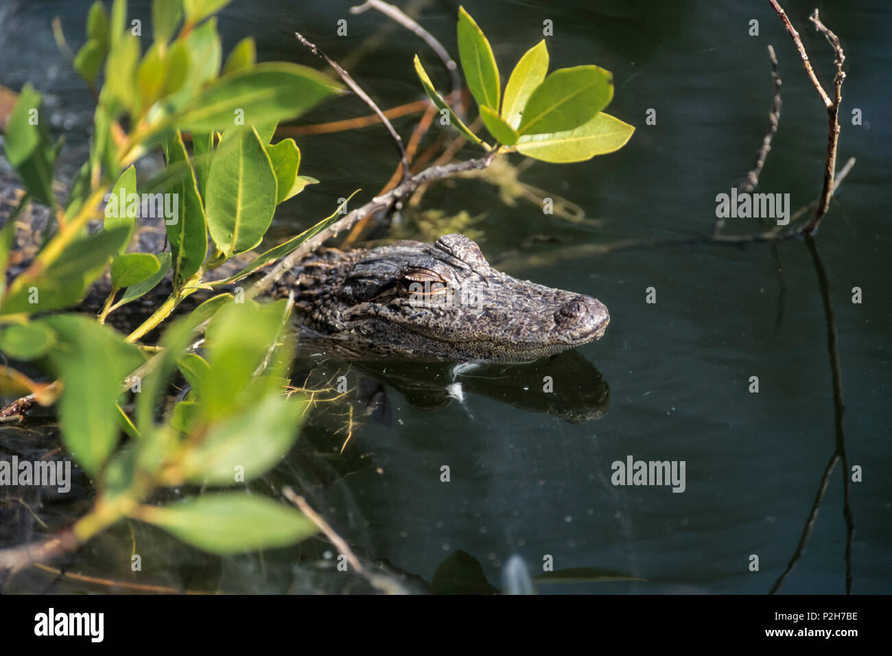 Toggler Alligator Mississippi Alligator Stockfotos Mississippi Alligator Bilder