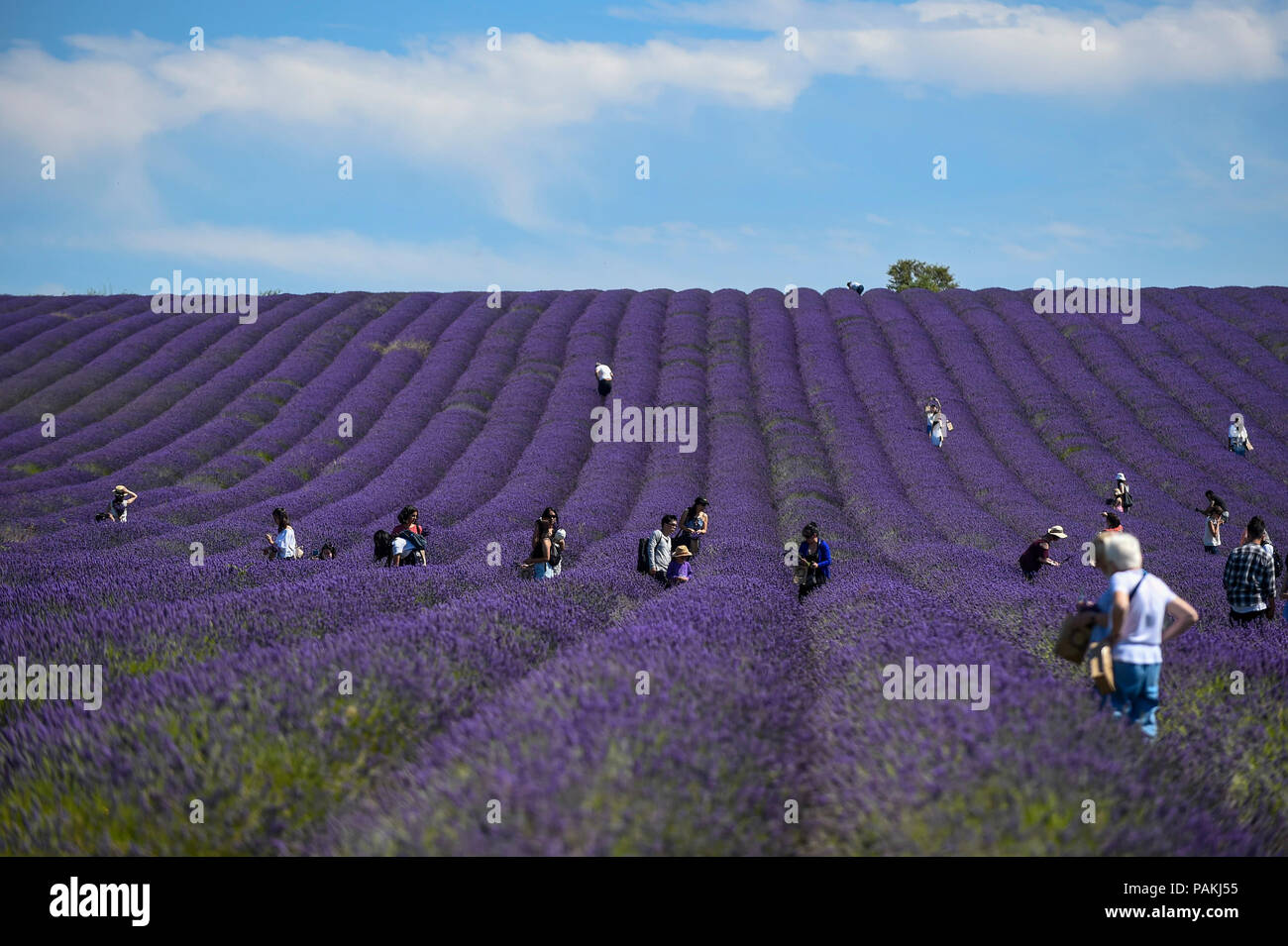Lavendel Ziehen Ickleford Uk 24 Juli 2018 Besucher In Hitchin Lavender Farm