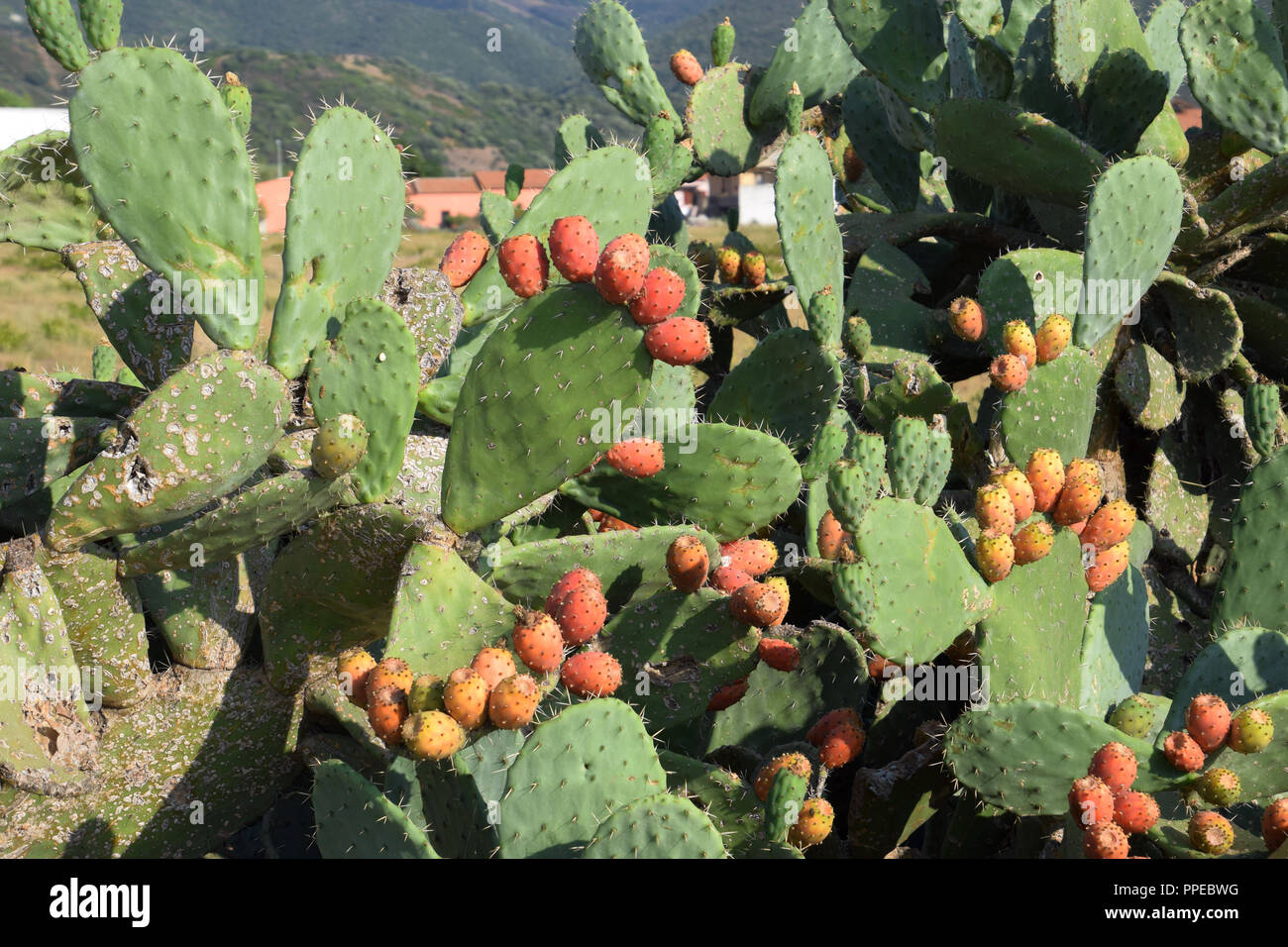 Pflanze Mit A Wild Prickly Pear Cactus Stockfotos And Wild Prickly Pear