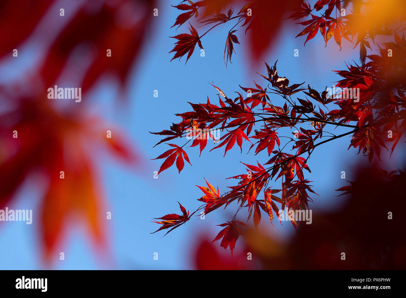 Japanischer Ahorn Wallpaper Branch Wallpaper Stockfotos Branch Wallpaper Bilder Alamy