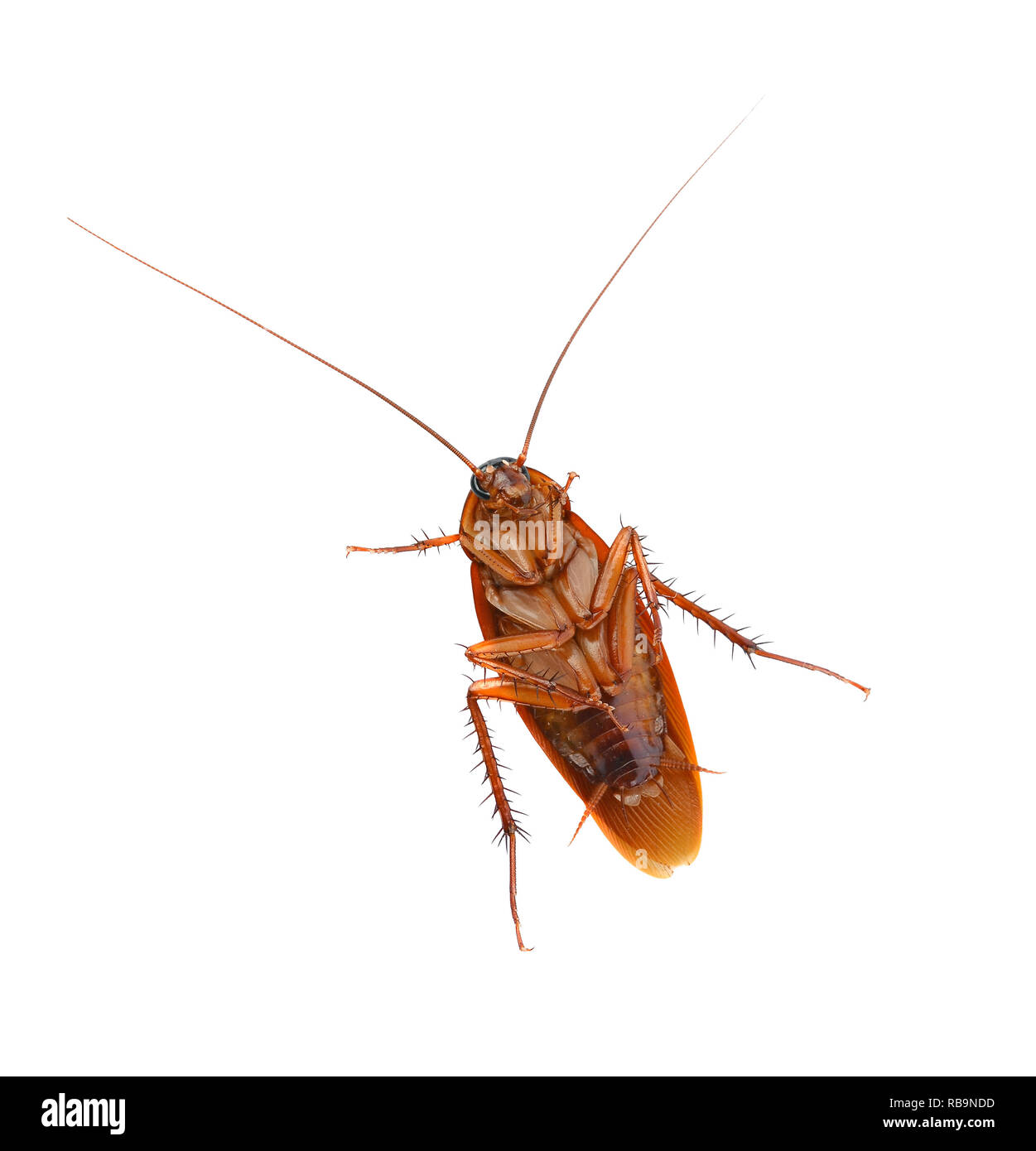 Junge Küchenschabe Head Of A Cockroach Stockfotos Head Of A Cockroach Bilder Alamy