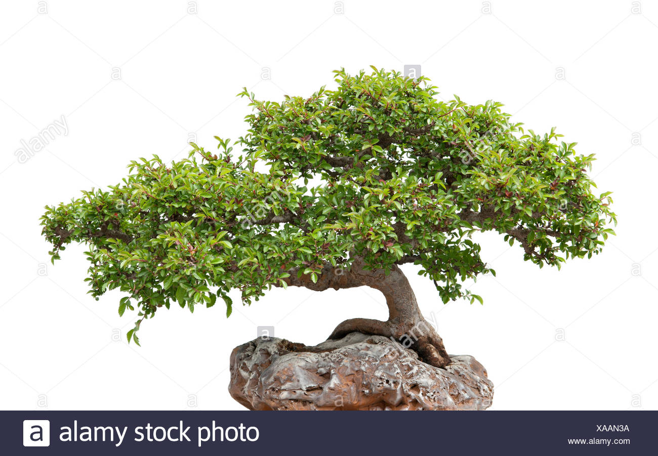 Ginseng Baum Bonsai Roots Stockfotos And Bonsai Roots Bilder Alamy
