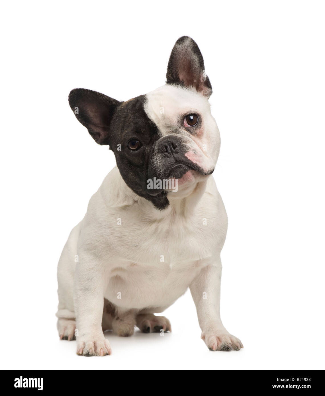 Meses En Frances French Bull Dog On White Imágenes De Stock And French Bull