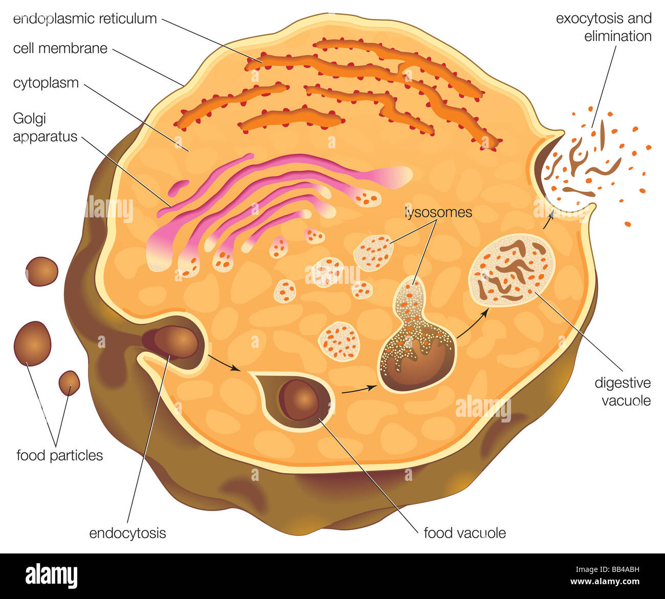 modele cv micro biologie