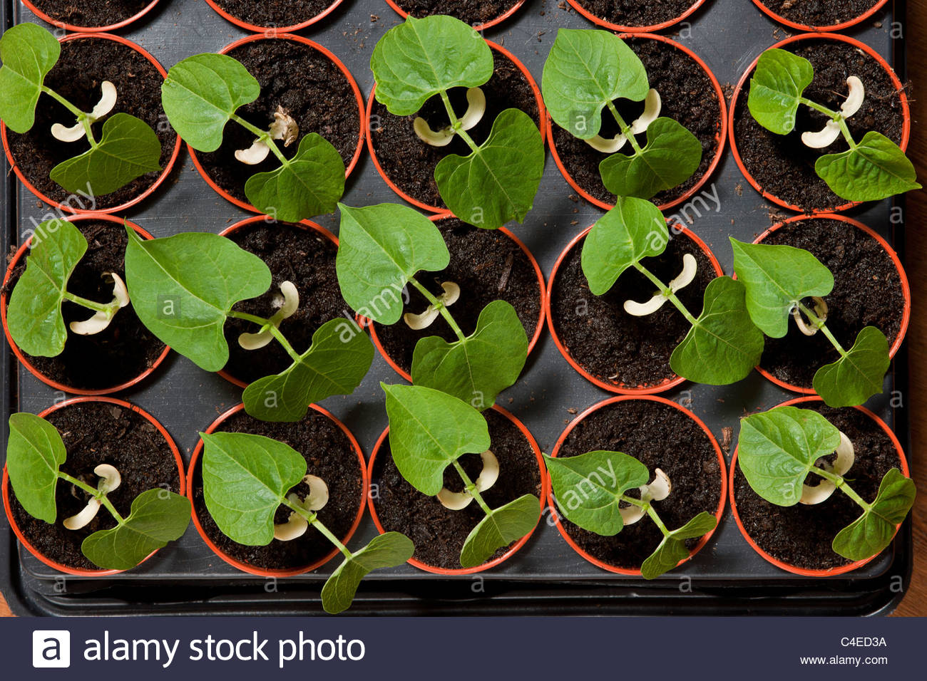 Haricot En Bac Pot Bean Plant Seedling Photos Bean Plant Seedling Images Alamy