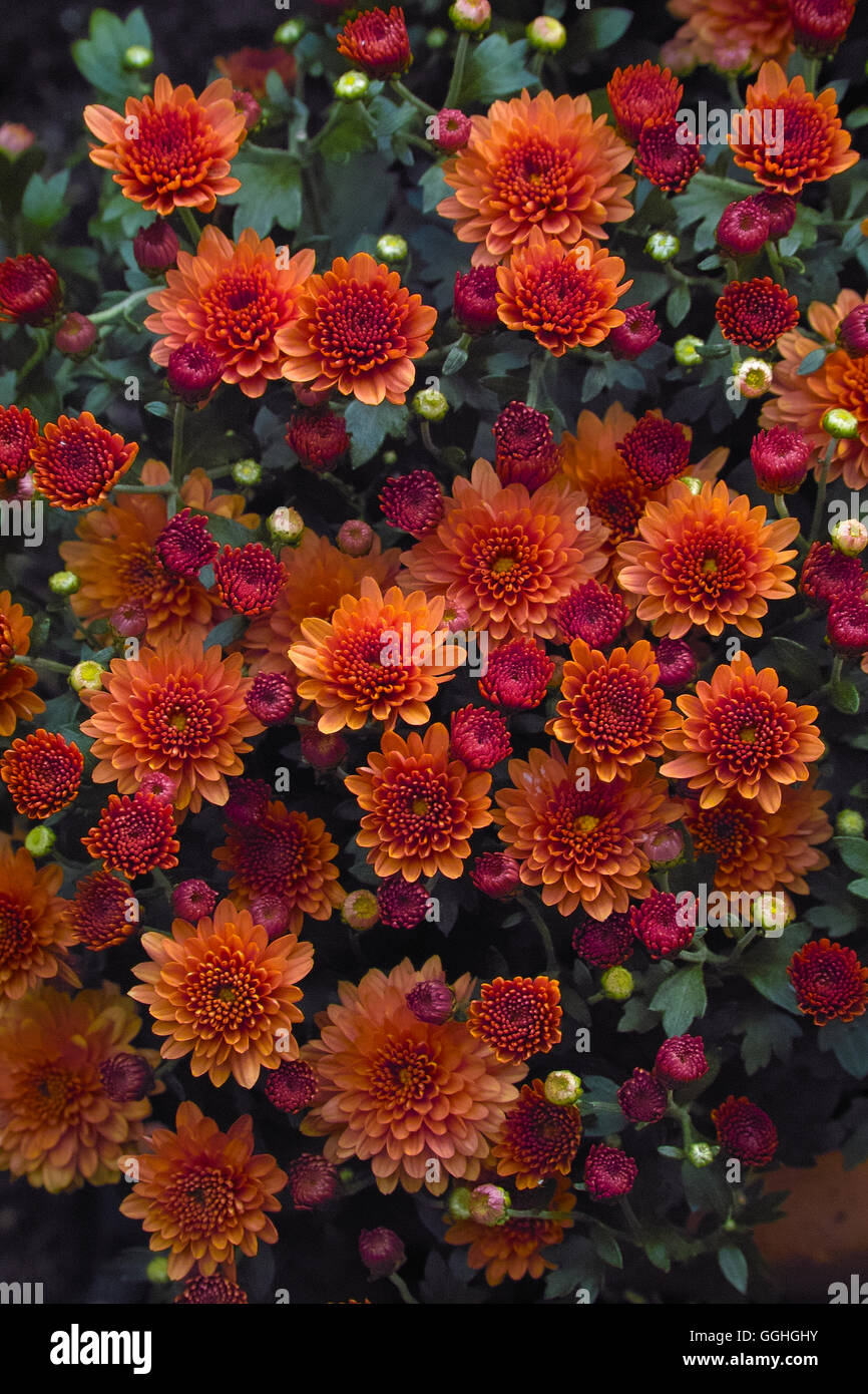 Chrysanthemum Indicum Winterhart Herbst Chrysantheme Costmary Aster Chinois Chrysanthème