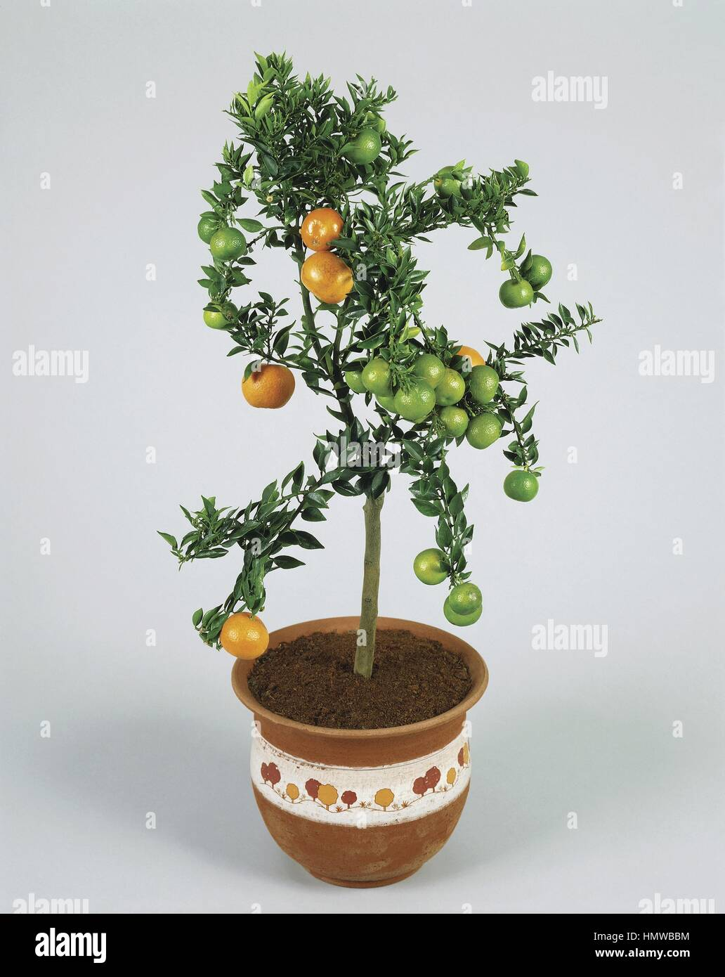Plante D'interieur Orange Plantes D Intérieur Rutaceae Myrtleleaf Ou Orange Citrus