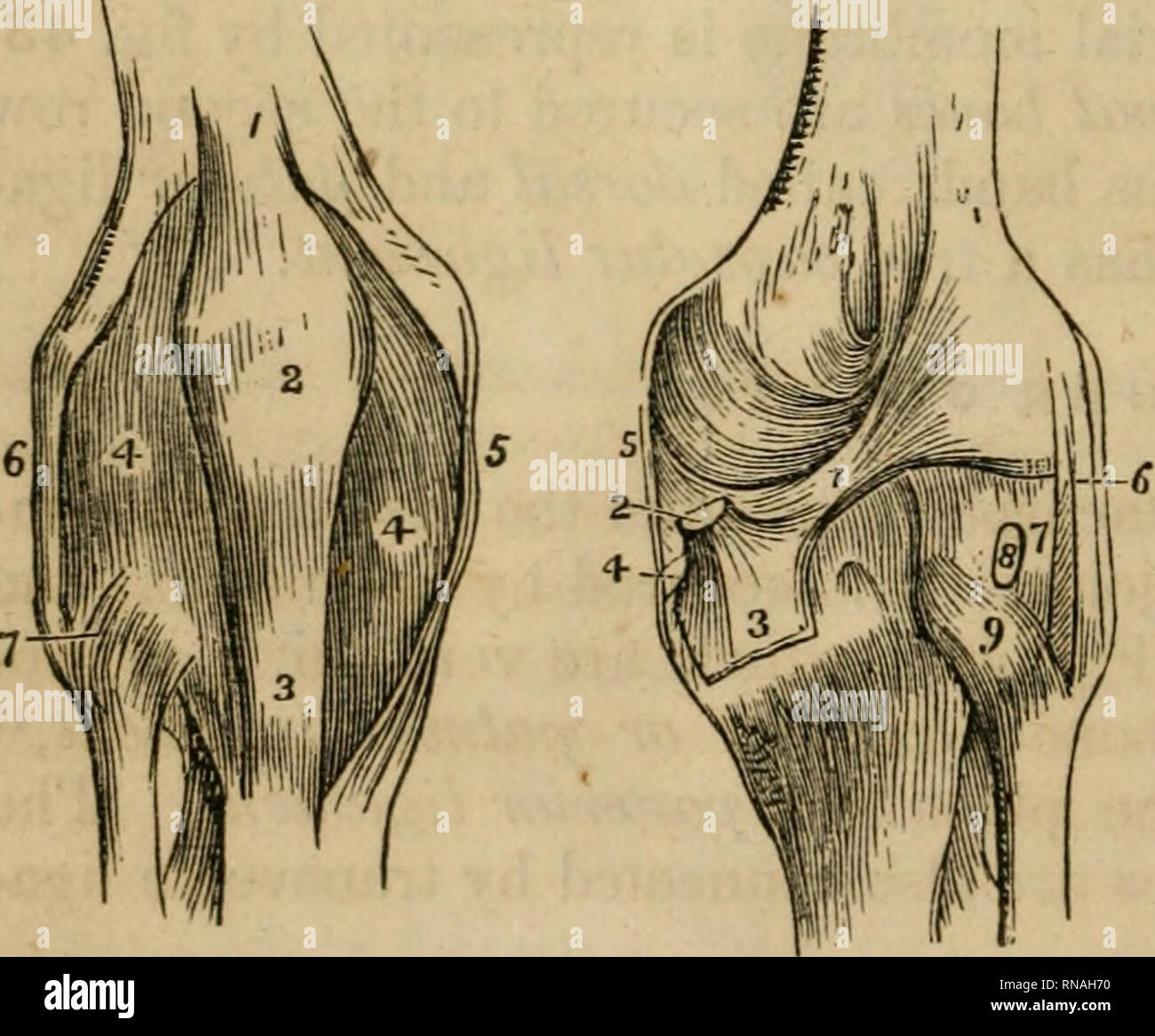 Glatter Renforce Ligamentum Teres Photos Ligamentum Teres Images Alamy