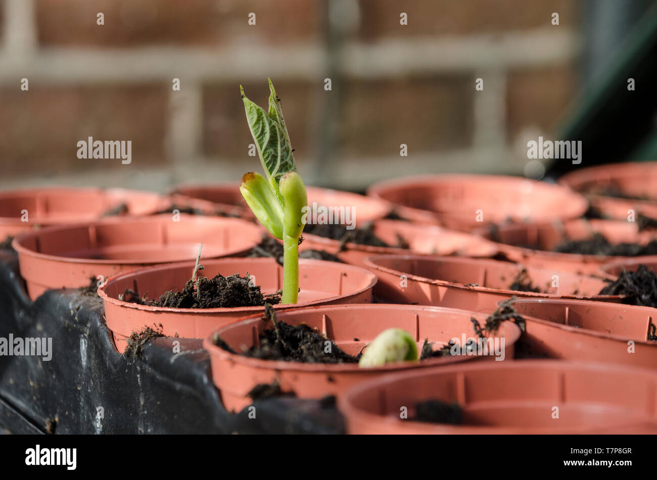 Haricot En Bac Pot French Bean Plants Photos French Bean Plants Images Alamy
