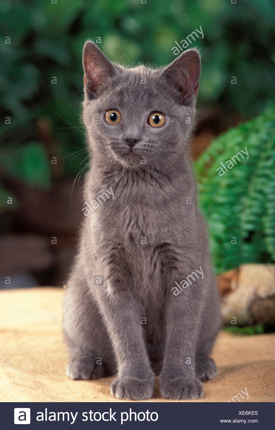 Chartreux Chaton Chat Chartreux Chaton Assis Blanket Banque D Images Photo Stock