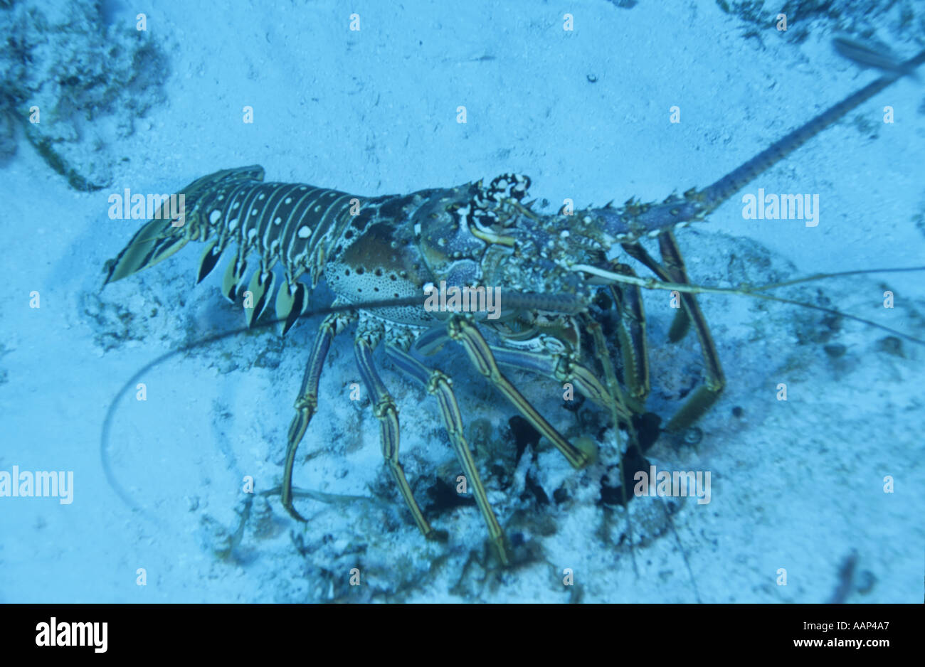 La Cucina Italiana Cozumel Lobster Cozumel Immagini And Lobster Cozumel Fotos Stock Alamy