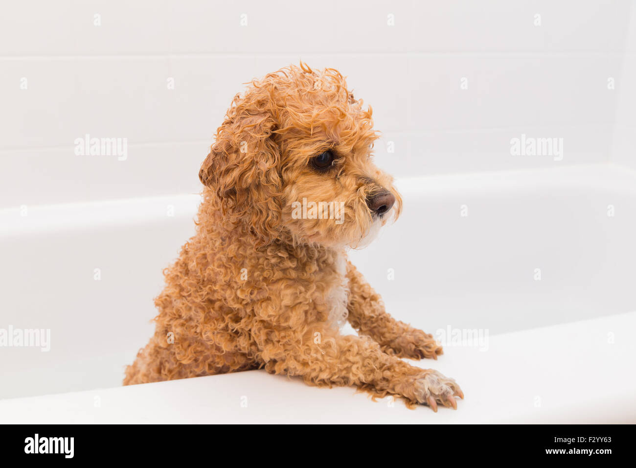 Primo Bagno Cane White Wet Poodle Dog In Immagini White Wet Poodle Dog In Fotos
