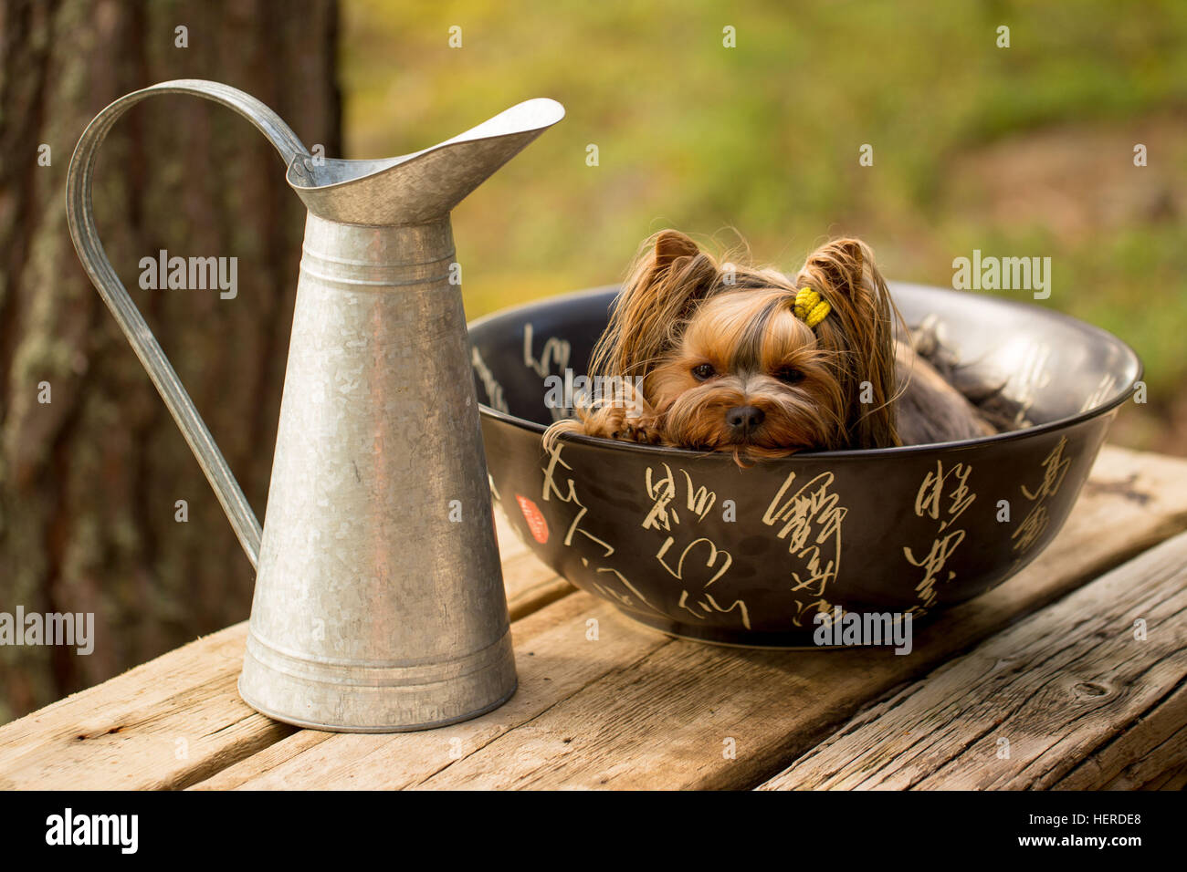 Bagno Yorkshire 1 Animale Long Fur Yorkie Yorkshire Terrier Yorkshire