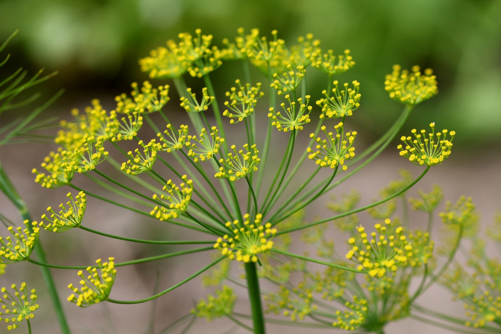 Head Of Dill Dill | Cabinorganic