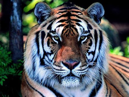 Nice Beautiful Girl Wallpaper Beautiful Tiger Cats Amp Animals Background Wallpapers On