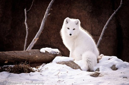 Cute Big Wallpapers White Fox Other Amp Animals Background Wallpapers On