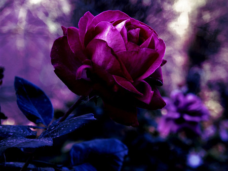 3d Wallpaper Natural Beauty Purple Rose Flowers Amp Nature Background Wallpapers On