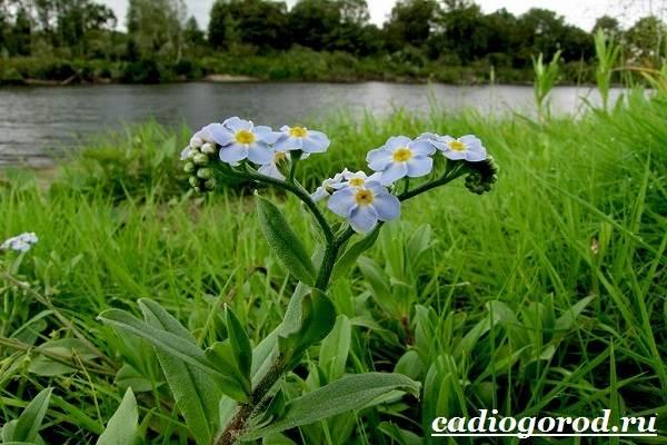 Уход за незабудкой после цветения