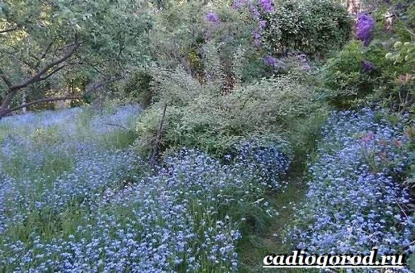 Незабудка-цветок-Выращивание-незабудок-Уход-за-незабудками-9