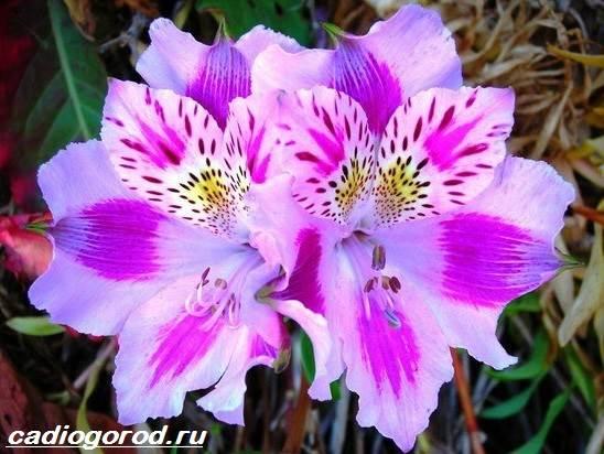 Цветы альстромерия и описание