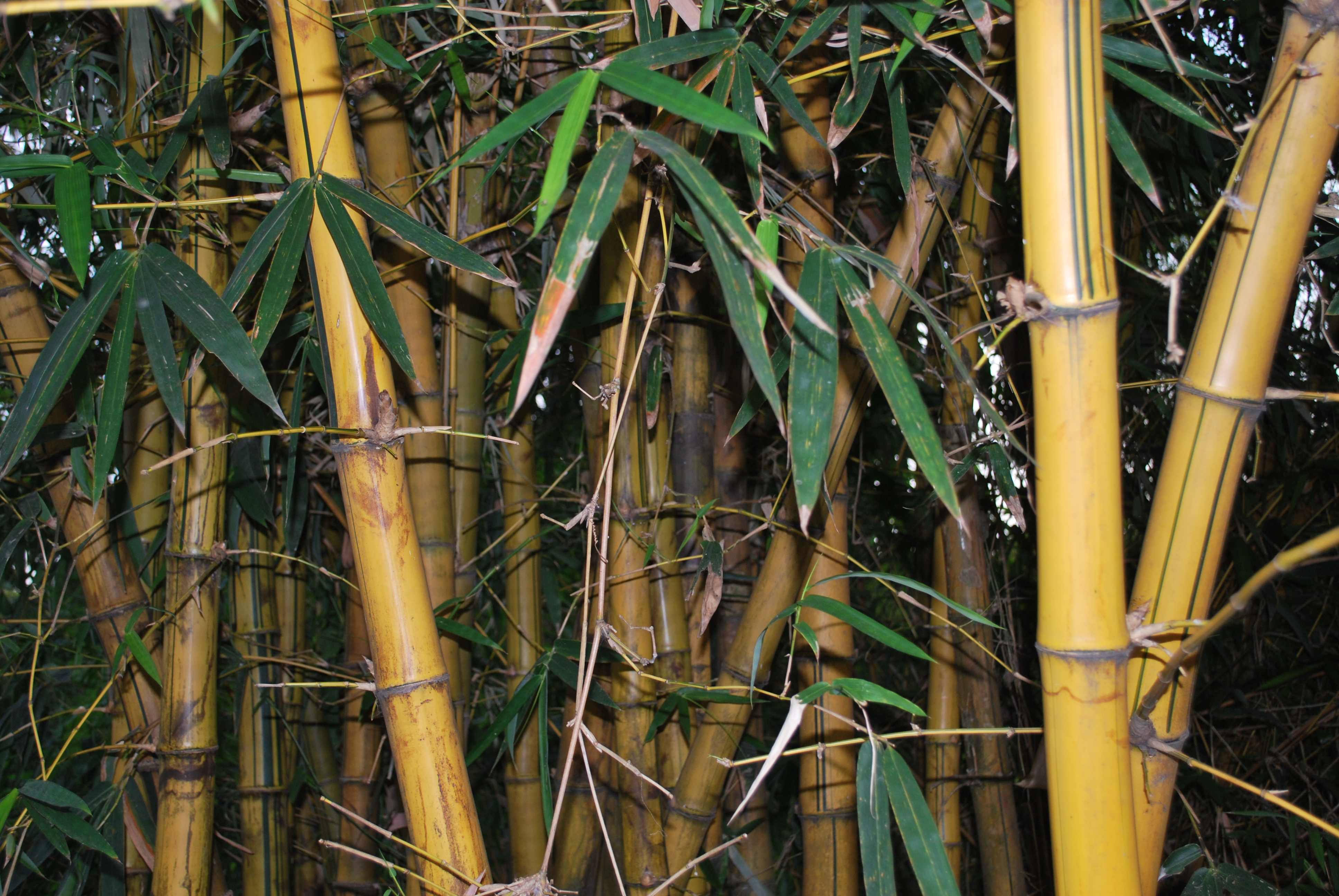Asian Plants For Sale Chinese Bamboo Cainta Plant Nursery