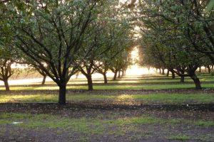 almonds_late_afternoon