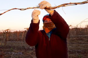 Getting Vines Ready for 2017 Winegrape crop