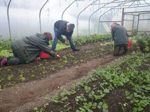 picking-winter-salad-leaves-camelcsa-041116