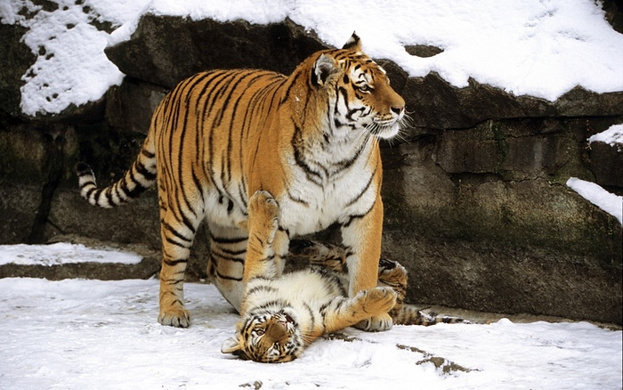 There's snow time like play time! In winter Siberian tigers forego their normal nocturnal lifestyle and use what little daylight there is to hunt and play; a mother must increase her hunting success by 50 per cent to feed a litter of two or three cubs. Deer, wild boar and even bears are targeted by these huge carnivores. Extra: Cubs are born blind and helpless but they grow quickly, increasing their body weight four times in just one month Photograph: Imagebroker/FLPA