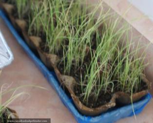 growing seeds in egg cartons