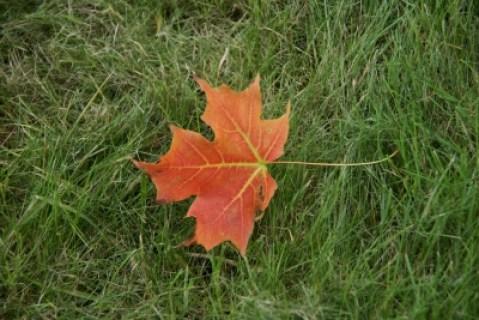 Canada maple-leaf