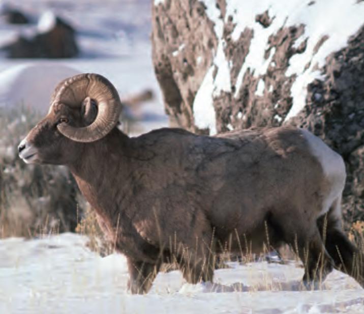 Winter Animal Wallpaper Animal Facts Bighorn Sheep Canadian Geographic
