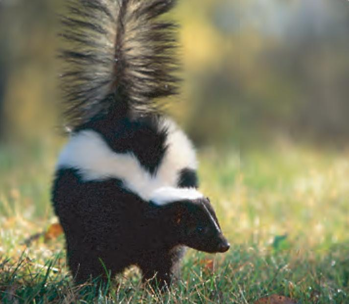3d Library Wallpaper Animal Facts Striped Skunk Canadian Geographic
