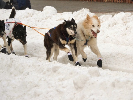 Why Iditarod Dogs Wear Dog Bootscanine Care Products