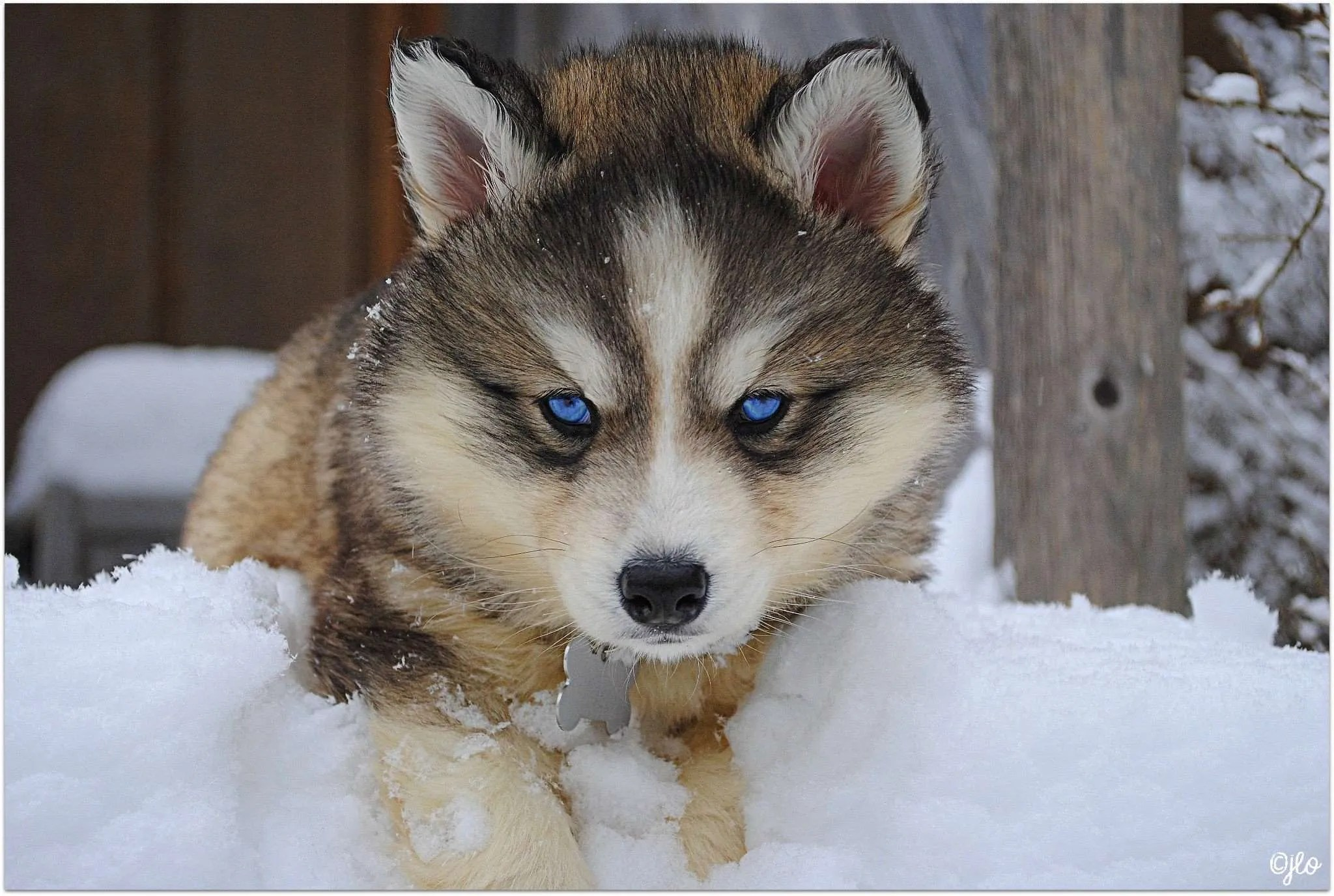 Cute Baby Puppy Pictures Wallpaper Siberian Husky Facts Siberian Husky Traits