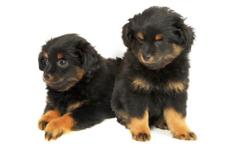 Yorkie Poo Guide Breed Temperament Health Canna Pet