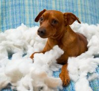 Why Does My Dog Chew His Bed?   Canna-Pet
