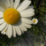 capability mom blog - daisy image from garden