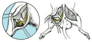 OSTEON ciático ratas