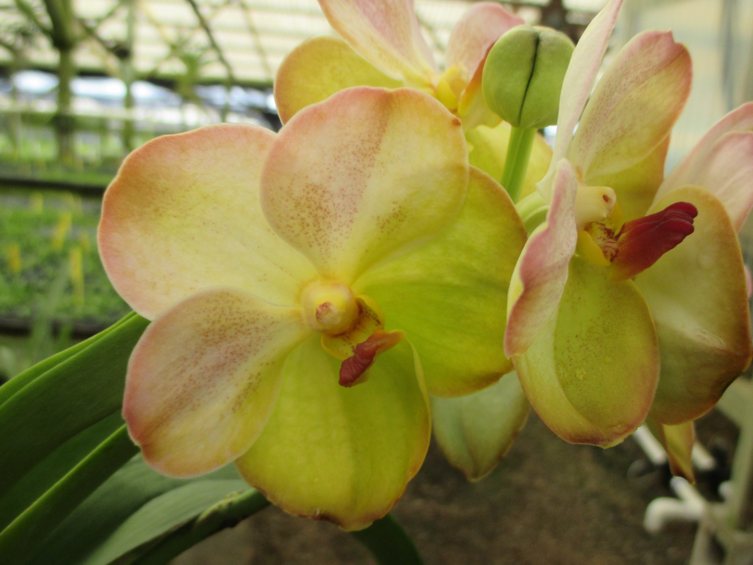 Vanda Yellow Butterfly Blooming Size Plant Carmela Orchids Inc