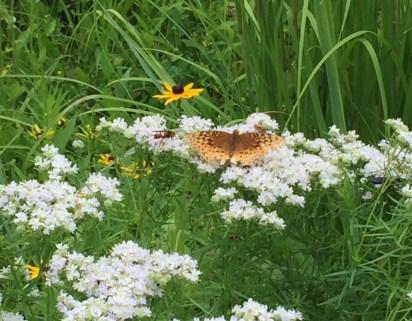 Orange butterfly on Whorled Milkweed
